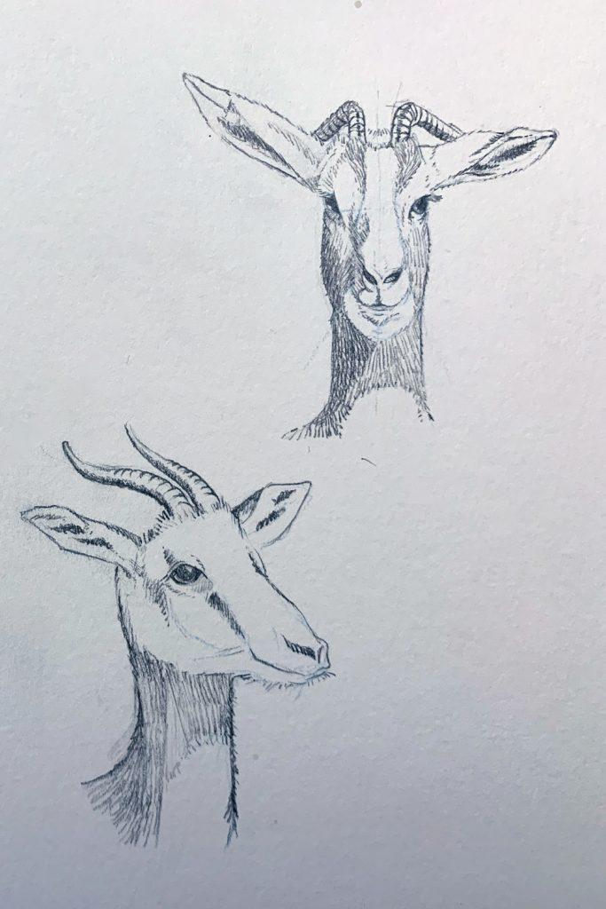 Gazelle de Mhorr (2)